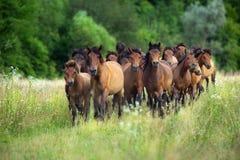 Movimento do rebanho do cavalo Fotos de Stock