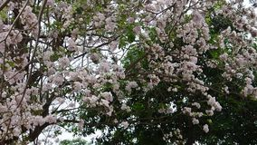 Movimento e movimento da árvore de trombeta rosado do vento no jardim exterior vídeos de arquivo
