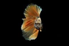 Movimento la coda del pesce siamese di combattimento dell'oro isolato sul bla Immagine Stock Libera da Diritti