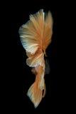 Movimento la coda del pesce siamese di combattimento dell'oro isolato sul bla Immagini Stock Libere da Diritti