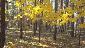 Movimento lento através das folhas de bordo bonitas do outono na luz solar vídeos de arquivo