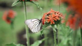 Movimento lento: close-up macro de uma borboleta em uma flor cor-de-rosa no jardim A borboleta mergulha o probóscide na vídeos de arquivo