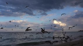 Movimento lento com centenas de voo da gaivota no beira-mar filme