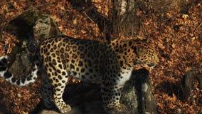 Movimento lento de saltar o leopardo raro de amur no outono Primorsky Safari Park, Rússia video estoque