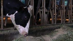 Movimento lento dell'agricoltore che dà i granelli asciutti dell'alimento alle mucche in stalla bestiame stock footage