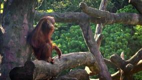Movimento lento dell'orangutan bornean adulto che riposa sopra l'albero allo zoo della foresta stock footage