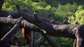 Movimento lento dell'orangutan bornean adulto scalato sull'albero superiore allo zoo della foresta stock footage