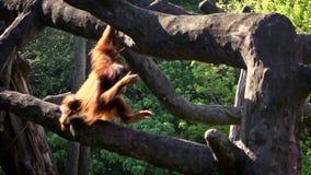Movimento lento dell'orangutan bornean adulto scalato sull'albero superiore allo zoo della foresta archivi video