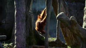Movimento lento dell'orangutan bornean adulto sceso dell'albero allo zoo della foresta video d archivio