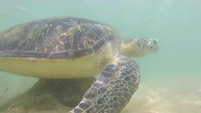 Movimento lento della tartaruga che è alimentata alga dall'uomo locale per intrattenere i turisti video d archivio