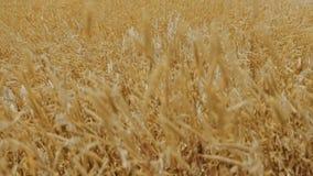 Movimento lento delle piante del cereale che ondeggiano nel forte vento archivi video