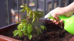 Movimento lento di bellezza Giardinaggio ed orticoltura gli spruzzi della donna innaffiano l'uva di ragazza in una scatola su un  video d archivio