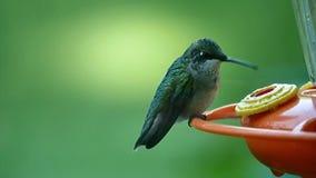 Movimento lento do close up disparado de um colibri video estoque