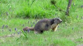 Movimento lento do groundhog running Marmota alpina filme