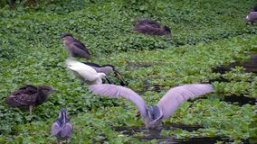 Movimento lento do Nycticorax dos pássaros dos adultos e do Egretta branco Garzetta no lago vídeos de arquivo