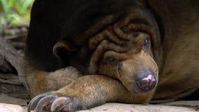 Movimento lento do urso de Sun que dorme na floresta entre rochas e árvores no jardim zoológico filme