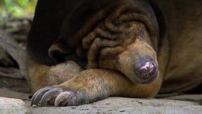 Movimento lento do urso de Sun que dorme na floresta entre rochas e árvores no jardim zoológico vídeos de arquivo