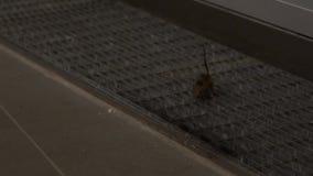 Movimento lento o rato de casa que procura pelo alimento dentro de uma casa