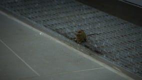 Movimento lento o rato de casa que sneaking comendo a refeição dentro de uma casa