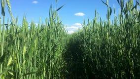 Movimento lungo il giacimento di grano, orecchie verdi nel vento, naturale, natura, organica video d archivio