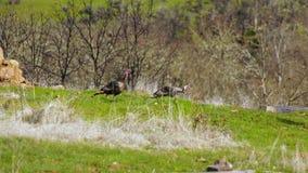 Movimento selvagem de Turquia através dos animais selvagens rurais do animal do pássaro do quintal vídeos de arquivo