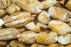 Movimento strisciante degli scarabei sulla groppa fotografia stock