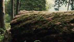 Movimentos da câmera ao longo de uma grande árvore caída com musgo em montanhas da floresta filme