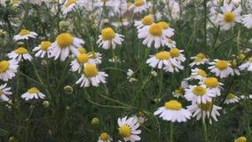 Movimiento blanco de la flor del cortador/de la flor de los ericoides del aster sobre el fuerte viento metrajes