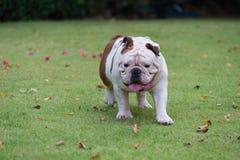movimiento borroso del dogo inglés blanco que camina en la hierba verde a Fotografía de archivo libre de regalías