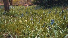 Movimiento de filtrado lento a través de un campo de las campanillas encontradas en el distrito máximo, Reino Unido - mayo de 201