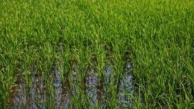 Movimiento de la ciudad vieja en la colina a las flores azules en campo del arroz