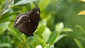 Movimiento de la mariposa de Brown Foto de archivo libre de regalías