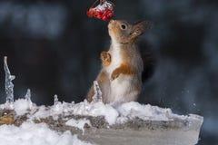 Movimiento de la nieve de las ardillas Fotografía de archivo