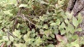 Movimiento de la víbora en la hierba del bosque