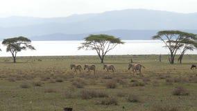 Movimiento de las cebras de la manada en The Field con la hierba verde en el acacia metrajes