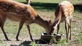 Movimiento de los ciervos que comen la comida almacen de video