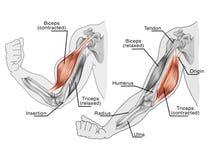 Movimiento de los músculos del brazo y de la mano Fotografía de archivo