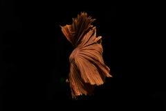 Movimiento de los pescados de Betta en fondo negro Fotos de archivo