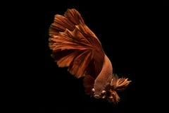 Movimiento de los pescados de Betta en fondo negro Fotografía de archivo libre de regalías