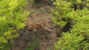 Movimiento de reclinación del león almacen de metraje de vídeo