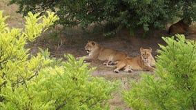 Movimiento de reclinación del león almacen de video
