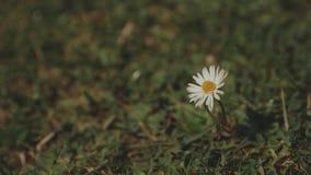 Movimiento de una flor en un campo, primer hermoso de la manzanilla salvaje de la manzanilla metrajes
