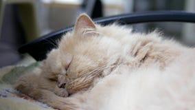 Movimiento del gato persa el dormir almacen de metraje de vídeo