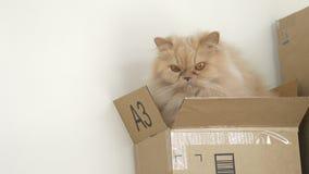 Movimiento del gato persa que juega con la gente dentro de la caja