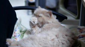 Movimiento del gato persa que limpia su palma almacen de metraje de vídeo