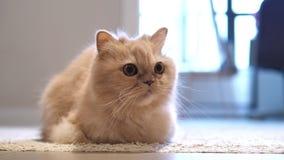 Movimiento del gato persa que mira fijamente la gente en piso almacen de video