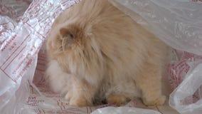 Movimiento del gato persa que mira y que juega con la gente dentro del bolso de la cubierta TV