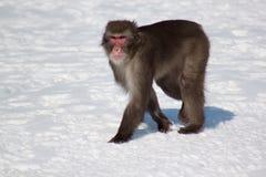 Movimiento japonés del macaque a través de la nieve blanca Foto de archivo libre de regalías