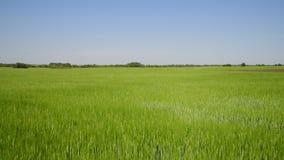 Movimiento a lo largo del campo de trigo verde en junio metrajes