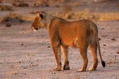 Movimientos de observación de la presa de la leona magnífica Imágenes de archivo libres de regalías